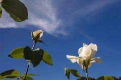 Rosas y cielo Fotos de archivo libres de regalías