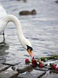 Rosas y el cisne Fotografía de archivo libre de regalías
