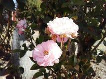 Rosas y flores Blanco y color de rosa Foto de archivo