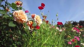 Rosas y flores coloridas atractivas brillantes a principios de verano en la reina Elizabeth Park Rose Garden almacen de metraje de vídeo