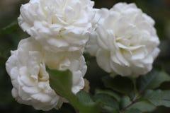 Rosas y hojas blancas del verde imágenes de archivo libres de regalías