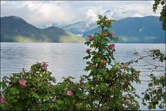 Rosas y montañas salvajes en la costa de Squamish fotografía de archivo