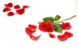 Rosas y pétalos Fotografía de archivo