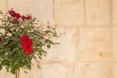 Rosas y pared rojas Imágenes de archivo libres de regalías