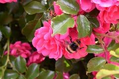 Rosas y una abeja rayada fotografía de archivo