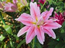 Rosaweiche der Lilie Stockfoto