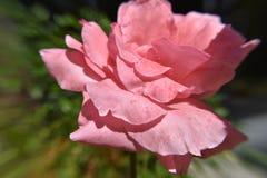 Rosblomma för pastellfärgade rosa färger i morgonsolljuset Arkivfoton
