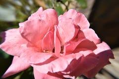 Rosblomma för pastellfärgade rosa färger i morgonsolljuset Royaltyfri Fotografi