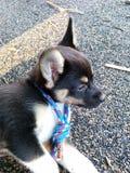 Roscoe el perrito Foto de archivo libre de regalías