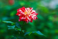 Rose à carreaux Image stock