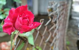 Rose à la porte Image libre de droits