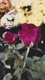 Rose à vendre à un marché à Bangkok Photos stock