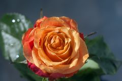 Rose – a symbol of perfection, wisdom and purity royalty free stock photo