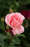 rose światło Zdjęcia Royalty Free