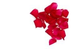 Rose изолировал на белой предпосылке Стоковая Фотография RF