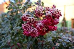 Rose покрыл с hoarfrost стоковая фотография rf