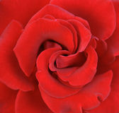 Rose 001 Royalty Free Stock Photo