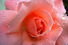 Rose. Pink rose with rain drops on its petals (macro Stock Image