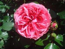 Rose 3 Stockfotografie