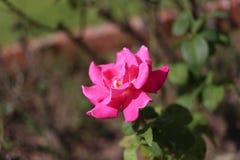 Rose11 στοκ φωτογραφίες