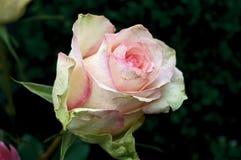 Rose. On dark green background Stock Image