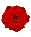 Rose. Red macro isolated white Stock Photography