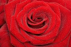 Rose. One red rose with drop Stock Image