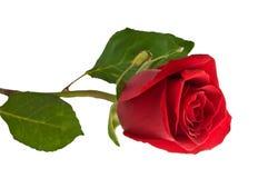 Rose. Stockfoto