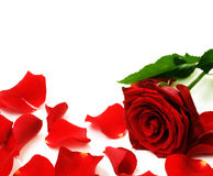 Rose. Red Rose & rose Petals border. Isolated on a white background royalty free stock photography