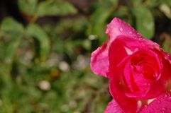 Rose. In a corner with waterdrops Stock Photo