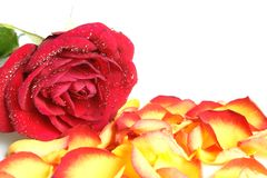 Rose. Closeup of red rose covered dew on a white background stock photos