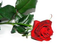 Rose. Red rose over white background. Rose series Stock Photo