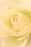 Rose. Close up of a yellow rose Royalty Free Stock Photography