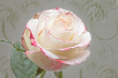 Rose. With red edges on pale green grunge background Royalty Free Stock Photography