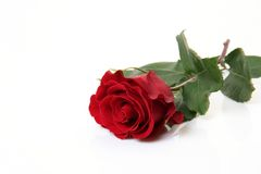 Free Rose Royalty Free Stock Images - 12456899