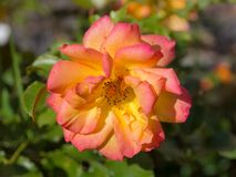 - rose, fotografia royalty free