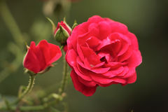 Rose. The blossom of rose flower Royalty Free Stock Photography