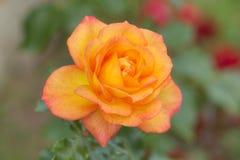 - rose, fotografia stock