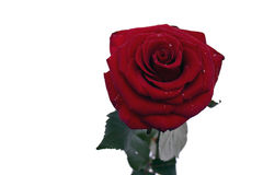 Rose. One red rose on a light background Royalty Free Stock Photography