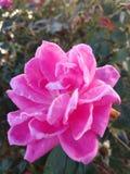 Rose lizenzfreie stockfotografie