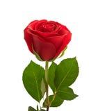 Rose. Stockbild