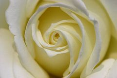 Rose. White rose Royalty Free Stock Photo
