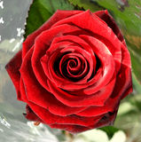 Rose...... Here is a rose very beautifull and red Royalty Free Stock Photos