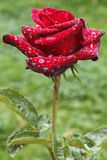 Rose. A red rose. leaves beside. water drops on the leaves Stock Photos