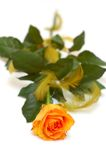 Rose. Orange rose on white background Royalty Free Stock Image