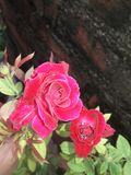ROSE😍😘. This rose pictures  click by me ....meera ...at the  Time of morning sunshine royalty free stock image