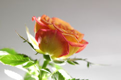 Rose. A yellow orange rose beneath lighted Stock Photo