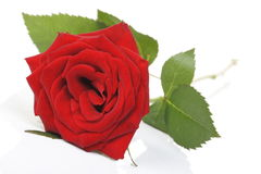 Rose. Red rose on white background Royalty Free Stock Photography
