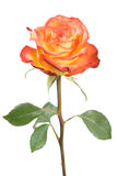 Rose. A single red and yellow rose bud isolated on white Royalty Free Stock Photography