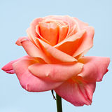 Rose. Royalty Free Stock Photography